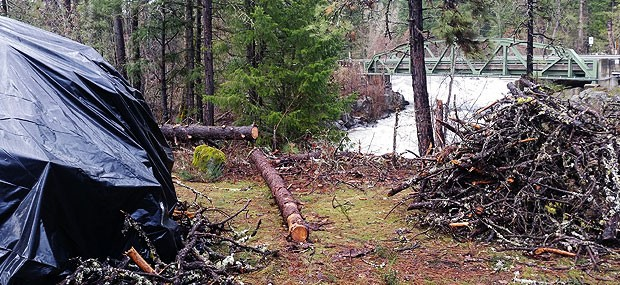 white salmon river bark beetle infected trees